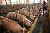 Thịt heo rẻ nhất 10 năm: 1 kg thịt không bằng 1 cân khoai