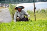 Chê cười lão nông 'điên trồng rau dại', cuối cùng cả làng ngả mũ trước thu nhập tiề tỷ của ông