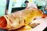 Cá sủ vàng giá cả 1,5 tỷ: Đắt vì giá trị dinh dưỡng, tâm linh?