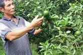 Trồng quýt đường không thuốc sâu, lão nông thu tiền tỷ mỗi năm