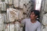 Trồng nấm bào ngư mỗi năm kiếm hàng trăm triệu đồng