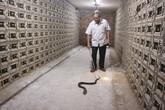 Đàn rắn độc 30.000 con: Kinh hãi người đàn ông 'chơi' với hổ mang mỗi ngày