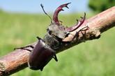 Bỏ 2 tỷ để mua 1 con bọ cánh cứng dài 5cm ai cũng cho là điên, nhưng cái gì cũng có cái giá của nó