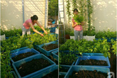 Mẹ đảm ở Hưng Yên biến sân thượng 40m² thành khu vườn xanh ngát, thu hoạch đến hàng chục cân rau củ sạch