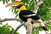 Điều ít biết về loài chim Hồng Hoàng có mỏ sừng giá 6.150USD/kg vừa gây xôn xao mạng xã hội