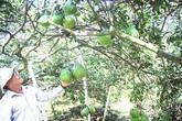 Xin nghỉ hưu sớm về vườn trồng bưởi đặc sản