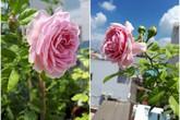 """Khu vườn hoa hồng trên """"mây"""" dịu dàng như một bài thơ của chàng họa sĩ trẻ ở TP. HCM"""