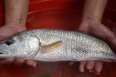 Ngư dân Đà Nẵng bắt được cá nghi sủ vàng cực kì quý hiếm