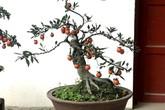 Hồng đá bonsai giá 1 tỷ đồng: Đại gia bí ẩn xuống tiền chơi Tết