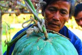 Giải mã bí ẩn ở vùng đất có những trái bí lớn nhanh và to hơn người