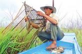 Bắt cá đồng mùa cạn kiếm tiền triệu mỗi ngày