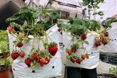Dâu tây chín đỏ góc 'nông trại' sân thượng rộng 100 m2 của bè mẹ trẻ ở Hà Nội