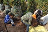 Khuân vác cây cảnh thuê kiếm 300.000 đồng mỗi ngày sát Tết