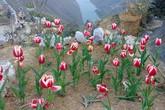 """Ông bố người Tày """"liều"""" thuê cả đồi đá Mã Pì Lèng trồng hoa tulip khiến bao người trầm trồ"""