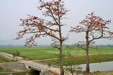 Mê mẩn với hoa gạo nở đỏ rực vùng ngoại thành Hà Nội