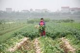 Cận cảnh người dân ngậm ngùi vứt bỏ hàng trăm tấn củ cải vì ế ẩm