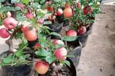 Sẽ rà soát nguy cơ từ hoa đỗ quyên ngủ đông, táo bonsai