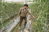 8 sào mướp đắng đến ngày thu hoạch chết héo vì bị kẻ gian nhổ rễ
