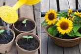 Nếu muốn trồng hoa hướng dương thì hãy bắt tay ngay đi vì mùa này là thích hợp nhất