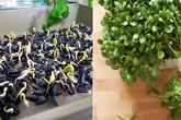 """Tự trồng rau mầm hướng dương giòn bùi, 2 tuần là có rau ăn """"tẹt ga"""" ai cũng mê"""