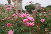 Vườn hồng cổ hàng trăm gốc 'vạn người mê' của anh nông dân Ninh Bình
