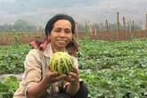 Bà cụ kiếm trăm triệu/năm nhờ trồng dưa vàng