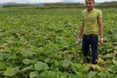 Chàng trai mồ côi trồng bạt ngàn bí đỏ ở bãi sông, lãi 600 triệu/vụ