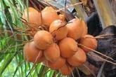 Thu nhập 15 triệu/tháng từ trồng dừa xiêm lửa xen cam xoàn
