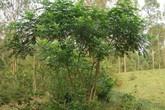 Ưng bất bạc - vị thuốc quý ngàn năm cho lá gan người Việt
