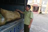 Tạm giữ xe tải vận chuyển da lợn đông lạnh không rõ nguồn gốc