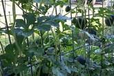 Độc lạ: Dưa hấu tí hon, vị ngọt sắc, trồng 2 tháng là thu hoạch