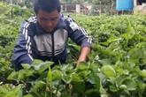 Kết hợp trồng dâu tây với du lịch anh nông dân kiếm hàng trăm triệu đồng