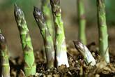Cách trồng măng tây đơn giản cho thu hoạch suốt 30 năm