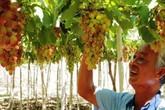 Anh nông dân Ninh Thuận trồng giống nho khổng lồ, cho thu nhập trăm triệu