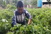 Vườn dâu tây 1.000m2 giúp anh nông dân bỏ túi trên trăm triệu đồng
