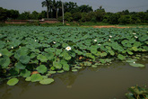 Khám phá đầm sen trắng có một không hai ngay gần trung tâm Hà Nội