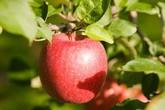 Sốc với giá của loại táo to như bưởi được trồng, chăm sóc, thu hoạch hoàn toàn thủ công