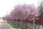 Người phụ nữ Việt bỏ ra 9 năm để trồng hàng cây anh đào bên tường nhà tạo lối đi về đẹp như thiên đường