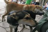 """Từ vụ chó cắn chết người ở Hà Nội: Lại """"dậy sóng"""" chuyện chó thả rông không rọ mõm"""