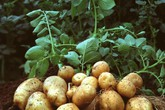 6 loại rau củ năng suất nhất để trồng trong khu vườn nhỏ của bạn