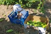Choáng ngợp trước vườn rau sạch rộng 600m² với đủ rau trái Việt của bà mẹ trẻ quê Thái Bình