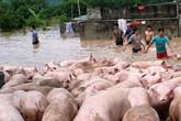 Thanh Hóa: Cứu hàng nghìn con lợn bơi trong nước lũ