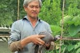 Nuôi loài gà lông lấm tấm, bay giỏi như chim, bán 100 ngàn/con