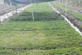 Cả làng trồng khoai lang, riêng anh trồng rau má, thu 800 ngàn/ngày