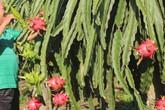 Lão nông lãi nửa tỷ đồng mỗi năm từu trồng thanh long trên mảnh đất cằn cỗi