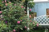 Khu vườn 600m² đẹp lãng mạn và rực rỡ hoa hồng của cô giáo dạy Văn ở Đà Lạt