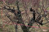 Truy tìm kẻ gian phá hoại cả trăm cây đào của người dân trước ngày thu hoạch
