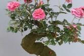 Những loại hoa hồng đắt hàng hơn cả hoa mai, hoa đào dịp Tết