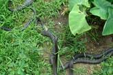 Cần biết điều này khi bị rắn độc cắn
