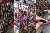 """Đỗ quyên """"ngủ đông"""": Loại hoa mới đang khiến chị em phát sốt, cắm 2 tuần là nở rực rỡ"""